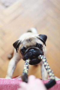 A cute pug playing tug-the-rope. It's a selective focus photograph, and the pug is only a puppy.